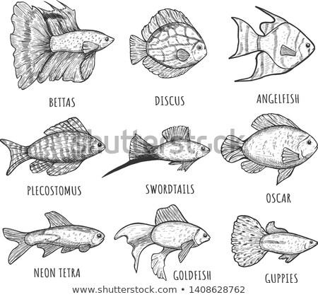 Betta and Swirdtail Fish Set Vector Illustration Stock photo © robuart
