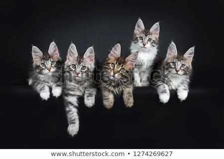 パーフェクト 5 ゴージャス メイン州 猫 ストックフォト © CatchyImages