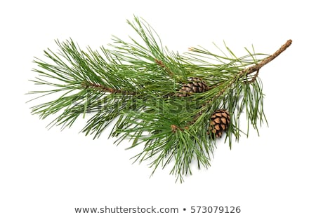 Coniferous pine branch Stock photo © nomadsoul1