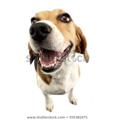 Wide angle portrait of an adorable Beagle Stock photo © vauvau
