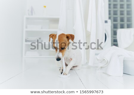 Playful pedigree puppy bites white washed towel, sits near clothes dryer in washing room, everything Stock photo © vkstudio