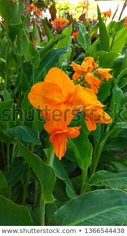Flower canna lily Stock photo © Musat