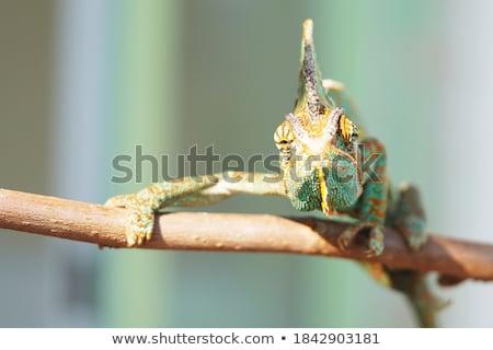 Zielone Chameleon brązowy ręce ciemne Zdjęcia stock © prill