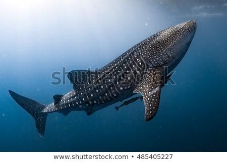 Baleine requin soleil énorme up surface Photo stock © MojoJojoFoto