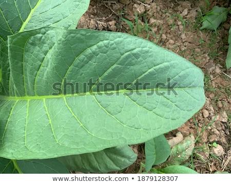 Cultivado tabaco 19 campo folhas plantas Foto stock © LianeM