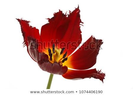 burgundy tulip isolated on white Stock photo © Photocrea