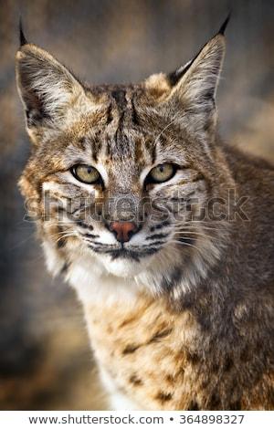 Bobcat Portrait Stock photo © saddako2