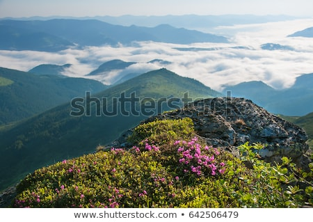 Glade of pink flowers in the mountains Stock photo © Kotenko