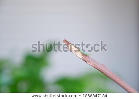 Groene rups plant stick Stockfoto © AlessandroZocc