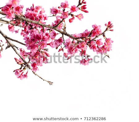 wild cherry blossoms stock photo © varts