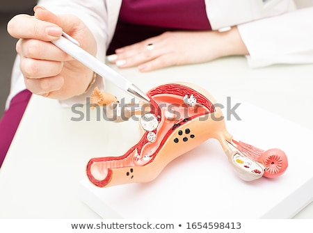 model of the uterus stock photo © mastergarry