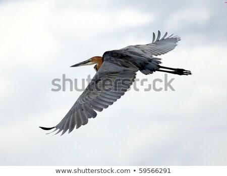 Balıkçıl uçuş delta Botsvana kuş tüy Stok fotoğraf © dirkr