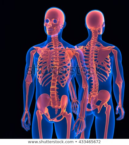 Stock photo: Human skeleton. Front and back view. Contains clipping path