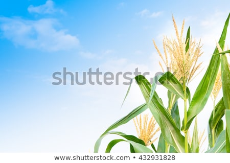 Green ears of corn from the field. Stock photo © justinb