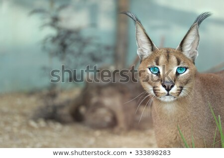 African Lynx or Caracal Hunting Stock photo © fouroaks