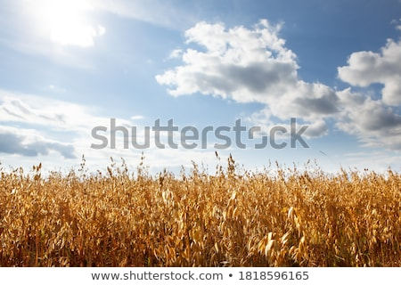 Avoine domaine alimentaire usine jaune grain Photo stock © LianeM