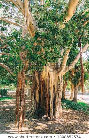 Moreton Bay Fig tree roots Stock photo © backyardproductions