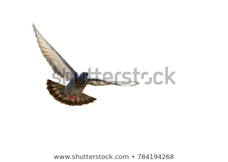 Wild brown pigeon Stock photo © Agatalina