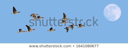 Beyaz kaz uçan gökyüzü örnek Stok fotoğraf © artibelka