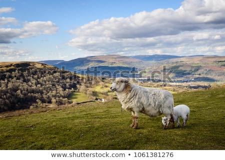 birka · domboldal · áll · szélmalom · tavasz · mező - stock fotó © backyardproductions