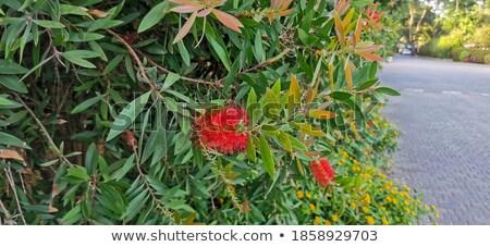 kırmızı · kırmızı · çiçekler · yeşil · yeşillik · yerli · kır · çiçeği - stok fotoğraf © hermione