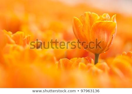 Rouge orange tulipe fleur pétales jardin Photo stock © radub85
