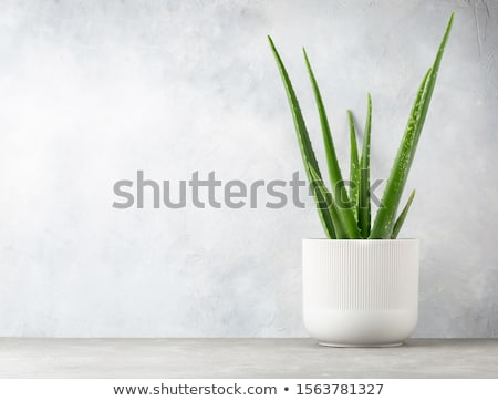 Aloë plant illustratie witte blad groene Stockfoto © bluering