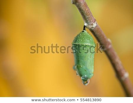 monarch butterfly   danaus plexippus   pupa stage stock photo © bluering