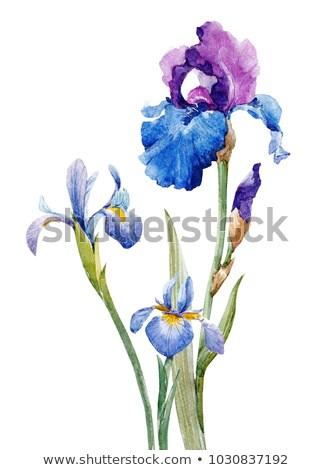 Blanco iris jardín de flores flor flores de primavera jardín Foto stock © meinzahn