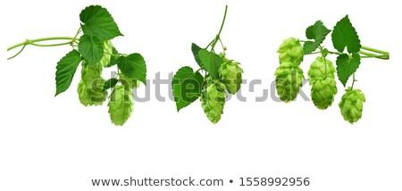 Salto planta broto cerveja tempero Foto stock © Suljo