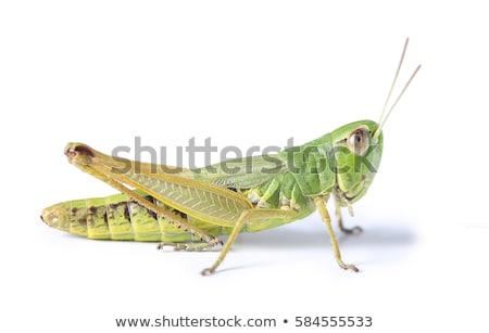 Stock fotó: Green Grasshopper On White Background