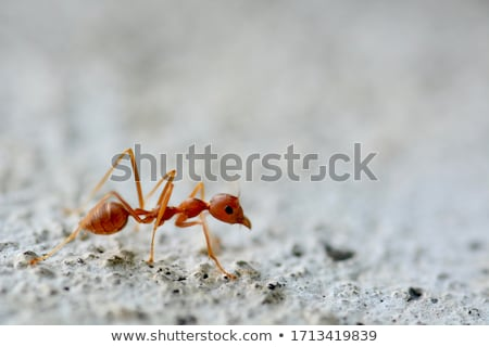 Piros hangya fehér szemek háttér lábak Stock fotó © bluering