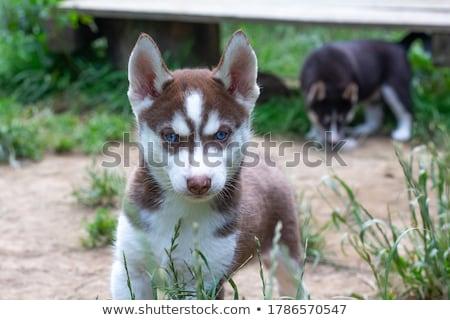 husky · kutyakölyök · kék · szemek · tél · szabadtér · kutya - stock fotó © OleksandrO