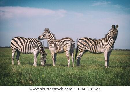 シマウマ · 見える · 自然 · 背景 · アフリカ - ストックフォト © simoneeman
