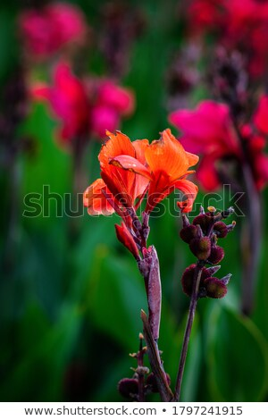 Indian shot (Canna indica) stock photo © azamshah72