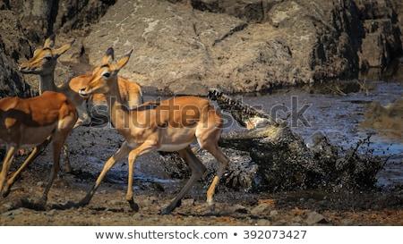 Stock photo: Nile crocodile in a water dam.