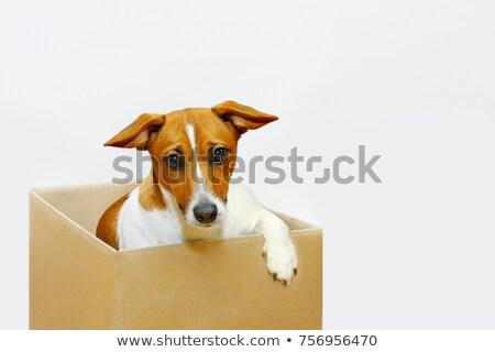sad boxed dog is sitting in studio Stock photo © feedough