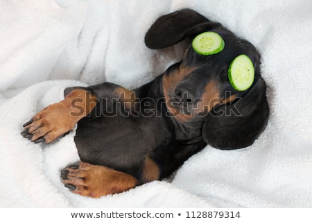 teckel dachshund stock photo © hsfelix