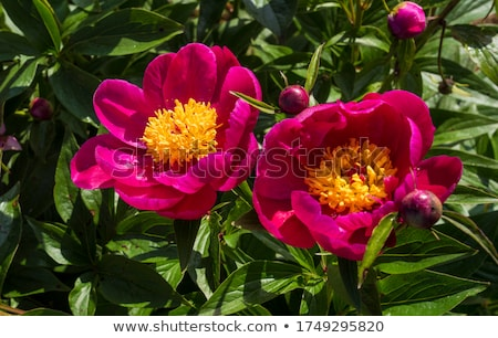 Beautiful summer flowers. Bouquet of pink peony and William background. Stock photo © Virgin