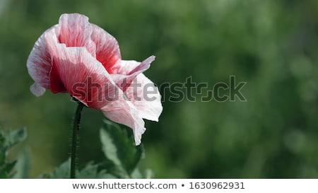 rosa · ensolarado · primavera · dia - foto stock © lubavnel