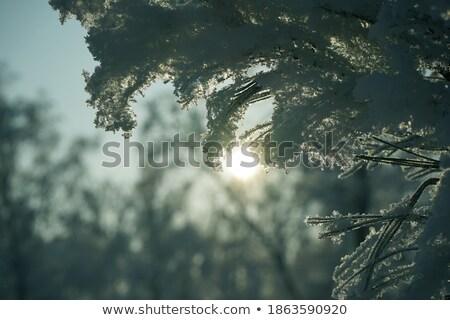 Rayos de sol árbol manana niebla detalles follaje Foto stock © Juhku