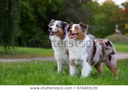 Női ausztrál juhász fehér kutya szemek Stock fotó © cynoclub
