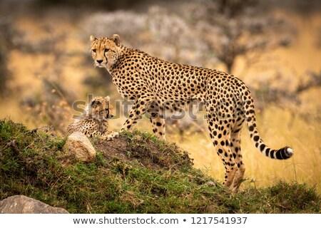 gepárd · medvebocs · anya · szavanna · Dél-Afrika · baba - stock fotó © hedrus