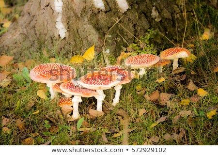 Fly agaric in the grass and Toadstool Stock photo © Ustofre9