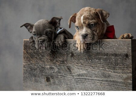 two  american bully puppies standing in wooden box look down Stock photo © feedough