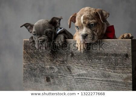 2 · アメリカン · 子犬 · 立って · 木製 · ボックス - ストックフォト © feedough