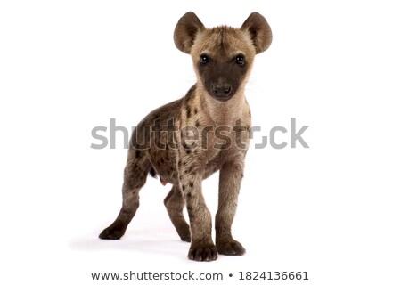 Hyène Botswana Afrique faune faible cute Photo stock © artush