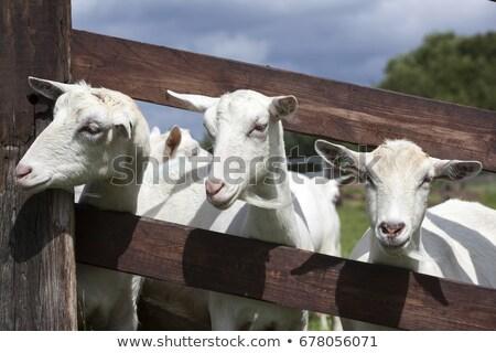 Geit hout eten groen gras gras natuur Stockfoto © galitskaya