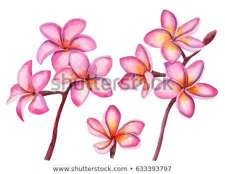 Pink and yellow plumeria flower Stock photo © vapi