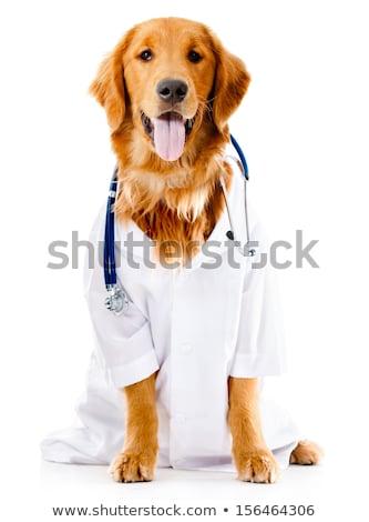 Vet doctor examining golden retriever dog isolated on white Stock photo © Elnur